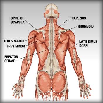 rugspieren anatomie