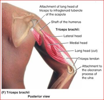 triceps driekoppen foto